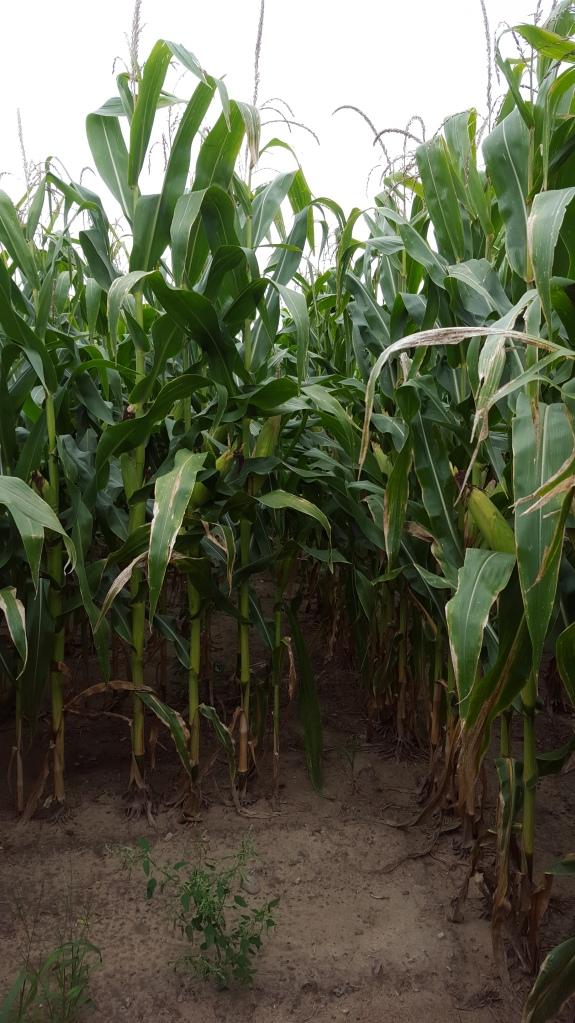 Hello, corn.